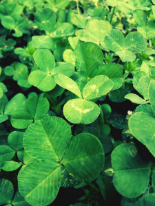 The clover is a symbol of the holy trinity in Irish legend.