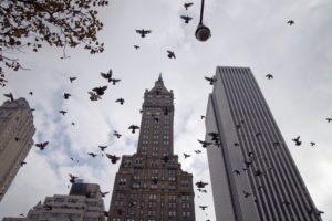 A photo of a swarm of pigeons flying between New York City skyscrapers.