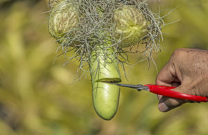A vegetable that resembles the shape of male genitalia. A person's hand is shown snipping it with scissors.