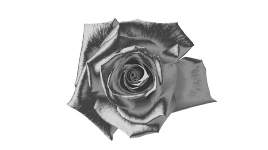 A drawing of a flower, pictured in black and white.
