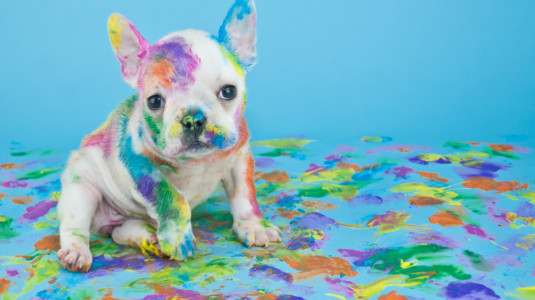 A French bulldog covered in paint.